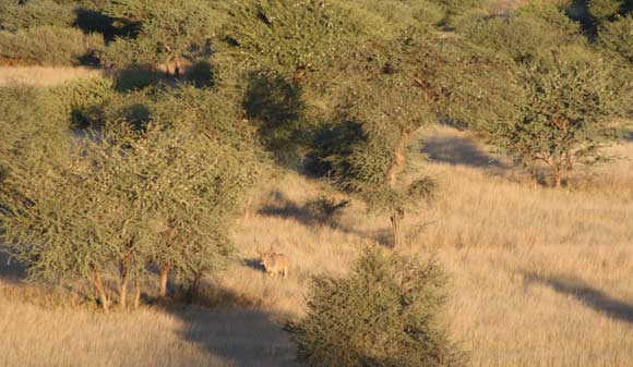 Vegetation in which hunt takes place at Keerweder Hunting Safaris in Namibia
